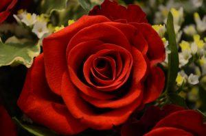 stop-roses-carolyn-youren